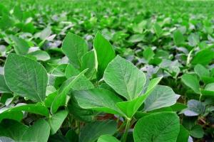 planta de soya