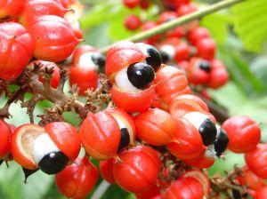 planta del guaraná